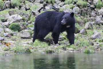 Intertidal Bear Watching