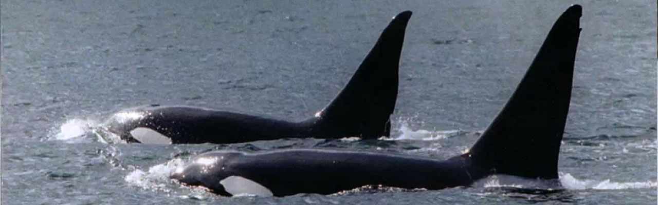 Orca Pic