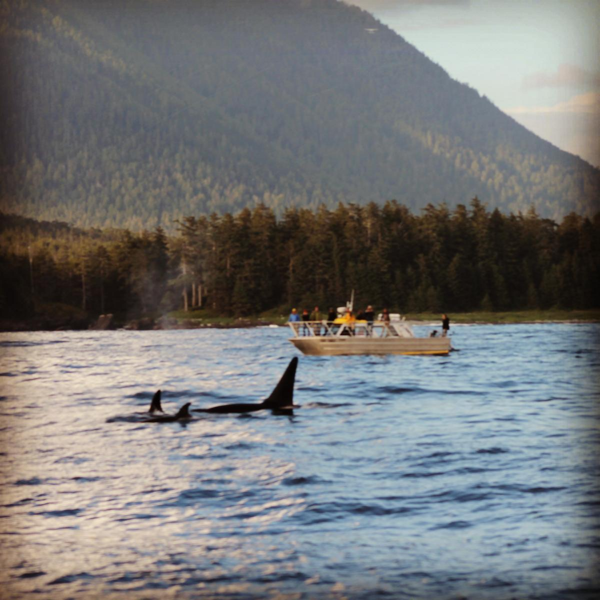 hot springs cove tofino whale watching inc whale bear. Black Bedroom Furniture Sets. Home Design Ideas